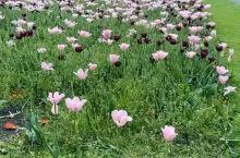 荷兰的郁金香开了,据说这次荷兰因为疫情的影响,鲜花的销售额断崖下跌,损失数亿欧元。这场疫情没有任何国