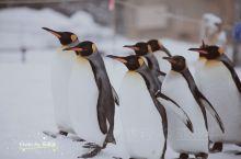 旭川必打卡:旭川动物园 南方孩子来北方玩就一定会要看点不一样的,和企鹅们零距离就可以到旭川动物园走一