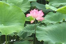 新加坡的荷花池你见过吗?