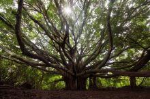 Maui岛上的大榕树