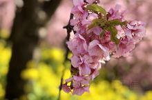正在盛開的櫻花,最早開花的品種。