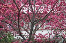 台北淡水天元宮櫻花戀之旅。。。。。