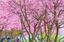 【赏花情报】国内第一波樱花已开,现在去刚刚好!不用出国,就能徜徉在无与伦比的浪漫樱花海中……  这个