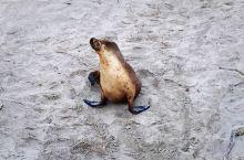 虽然叫海豹湾,但这里生存的却是海狮哦!据说,现在海豹湾水域保护区共有海狮 600 头左右。