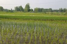 家乡的水稻,绿油油,青山绿水