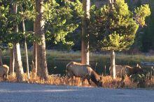 黄石国家公园里的野生动物真是活的休闲