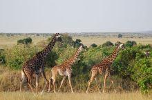"""马赛马拉国家公园在肯尼亚众多的野生动物保护区中,可以称得上是""""园中之冠""""。这是个特殊的国家公园,因为"""
