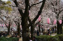 日本的樱花不如中国的造景,可是他们小小的一个街心花园里却坐满了赏花的人,因为传统文化比花更重要。