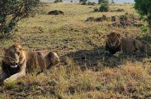 马赛马拉国家公园,肯尼亚SAFARAI最热门的地点,每年七、八月间的角马过河地球生命大戏不知吸引了多