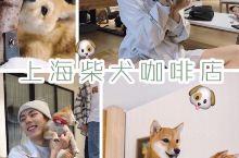 上海探店|柴犬主题网红咖啡馆 撸狗到爽  爱狗人士不容错过啦,我前些天去了这家网红柴犬咖啡馆,快要被