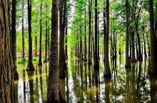 """童话.魔都""""水上森林""""。 """"水上森林""""的前身是1982年上海农业局出资启动建设的粮林间作湿地造林,苗"""
