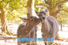 到奈良和小鹿快乐地玩耍吧  奈良古都,从京都火车过去不过1小时,但却能享受成千小鹿和你在大街玩耍。