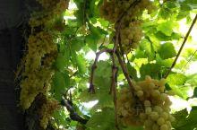 新疆吐鲁番。 吐鲁番的葡萄熟了,你快来品尝!吐鲁番的葡萄熟了,九月份到吐鲁番,看着熟透了的葡萄真让人