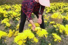 """虽然已经入冬了,但是星子县的菊花依然漫山遍野都是呢,真是""""此花开尽更无花""""啊"""
