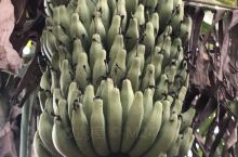 西双版纳勐海香蕉、茶花、路边小花。