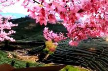台品樱花茶园,沿茶道两旁依次而种的万余株樱花迎春绽放,火红的樱花蜿蜒点缀在碧波翻滚的茶山上,有如五线