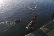 孩子在海德公园拍的各种水鸟,天气太好了
