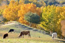 乌兰布统。悠闲自在的牛马骆驼,各式各样的拍拍拍,很有意思。