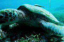 终于找到一个大件 千年老龟,见着有福哦 阿罗娜海滩