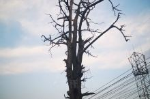 剑阁·广元  开封镇后山的一个百年柏树。 这一棵树也算开封镇比较有名的了,立在开封中学后,以前读书时