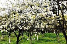 《来自桂东的诱惑:我们梨花已经盛开了……》  我是孤独浪子,希望我的拍拍让您有所收获。 漫游神州31