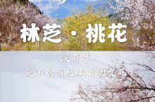 五月的林芝桃花,雪山脚下,依旧盛开中 没有梦,就不会看见五月的繁花 以为林芝桃花谢了,没想到还有,