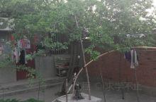 家里的李子树,又是一个丰收年。