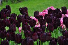 黑郁金香因为一个故事被带上了神奇的色彩。在库肯霍夫公园里,它只是数百种郁金香中的一种,在公园700万