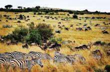 当你想象非洲时,你所想象的就是马赛马拉。美丽的合欢树、狮子一家亲密摩挲安享天伦之乐的场面、如雷贯耳的