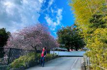 冬季来伊豆,白天可以去修善寺那边走一走逛一逛,此刻的梅花已经开始掉落了,但是仍然很舒服,来一个本地特