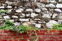 直布罗陀海峡猕猴