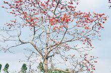 海南昌江木棉花开了,小伙伴们赶紧来哦…… 花开的季节在2-3月,适合自驾出游的小伙伴。观赏木棉花,可
