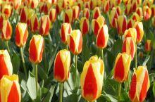 四月,盛开的不止是樱花。 在四月,荷兰迎来最美的时节,那就是郁金香的花季。 此时来到荷兰,一定会到库