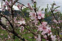 原生态桃花