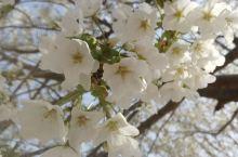 泛区樱花节开始了。真是好看,还免费。心情舒畅。