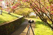 四明山晚樱  四明山红枫樱花节作为革命老区四明山的重要节庆、旅游品牌,创始于2006年,举办时间定在
