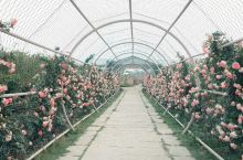 花星球占地500多亩,里面包含了很多不同花种的园区,像玫瑰花园、英式岩石花园、紫藤园、月季园等等,花