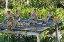 可爱的长鼻猴们我们来啦-拉卜湾长鼻猴保护区  那天在图书馆看到一幅有关长鼻猴的画册,他们与平常的小猴