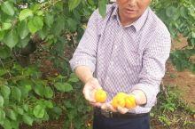 杏熟季节的萧县果园