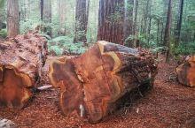 北岛罗托撸瓦市附近的红树林景区,树林不大却有170多种树木,里面比较稀奇的是七姐妹树,一颗倒了枯死的