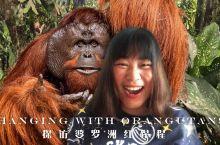 探访山打根西必洛人猿中心遇到好莱坞级大IP 邂逅好莱坞大IP红猩猩!!  这只雄性红猩猩是西必洛人猿