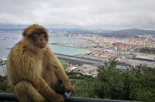 直布罗陀巨岩猴