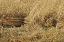 三只懒慵的狮子,在路边的草丛中睡午觉。