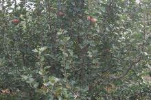 石家庄景兴百花沟,采摘苹果,正合适的季节适合带孩子去玩儿。路不太好找,空气新鲜,推荐合家聚会,还有很