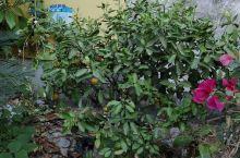 墙面下的果树