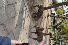 东大寺的小鹿悠然自得