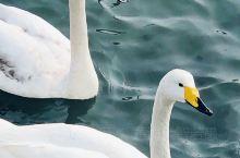 """""""成双成对天鹅缘"""" 在烟墩角观赏大天鹅时,惊喜地发现了一只脖子上戴有红色环志的大天鹅,红色环志上写有"""