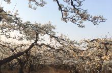 忽如一夜春风来,千树万树梨花开,中国雪花梨之乡-赵县,距石家庄40公里,每年4月10左右梨花盛期,万