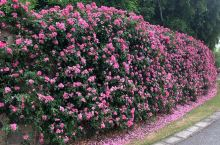 长达1500米的'安吉拉'月季花墙已进入盛花期,一朵朵粉色花朵从万绿丛中探出头来,铺满了整个墙面。