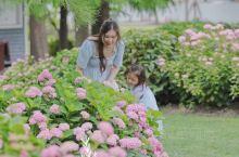 辰山植物园,绣球花开,拍照指南。  今年花期提前了,原定6月初去看绣球花,意外发现5月下旬,辰山植物